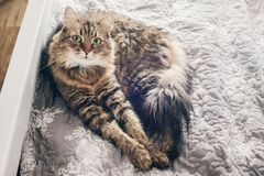 Cute cat lying on comfortable bed in morning light in stylish room. maine coon resting on blanket with funny emotions and. Adorable curious look. relax and cozy royalty free stock images