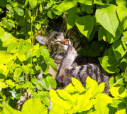Cute cat lying in the hedge Stock Photography