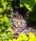 Cute cat lying in the hedge Royalty Free Stock Images