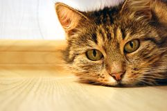 Cat lying on the floor, close up stock images