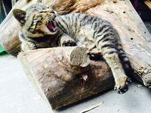 Cute. A cat lying on the stump yawn Stock Images