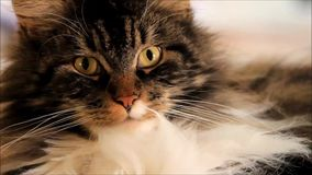 Cute cat maine coon looking stock video footage
