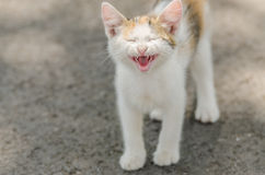 Cute Cat Meowing. Close Up Stock Images