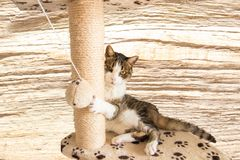 Cute cat Miri plays with ball on the multi level cat tree in fro stock photos
