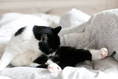 Cute cat with moustache grooming on bed. Funny black and white kitty licking and cleaning butt on stylish sheets. Space for text royalty free stock images
