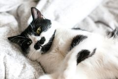 Cute cat with mustache lying and relaxing on bed. Funny black and white kitty with angry emotions resting on stylish sheets. Space. For text. Comfortable moment stock images