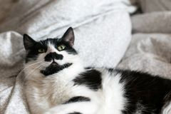 Cute cat with mustache lying and relaxing on bed. Funny black and white kitty with angry emotions resting on stylish sheets. Space. For text. Fun moment stock photo