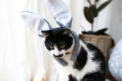 Cute cat with mustache sitting with bunny ears headband and relaxing at window. Funny black and white kitty with emotions in. Rabbit ears at Easter holiday stock photo