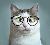 Cute cat in myopia glasses squinting close up funny portrait. On blue wall background Stock Images