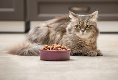 Cute cat near bowl with food at home stock photos