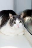 Cute cat near window. Mammal, home pet. Indoor Royalty Free Stock Image