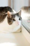 Cute cat near window. Mammal, home pet. Indoor Stock Photos