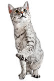 Cute cat with one Paw Raised. A cute Egyptian Mau breed cat with one paw raised stock image