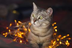 Cute cat with orange christmas lights on the background Stock Photos