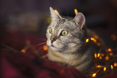 Cute cat with orange christmas lights on the background Stock Image