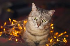 Cute cat with orange christmas lights on the background Stock Photo