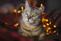 Cute cat with orange christmas lights on the background Royalty Free Stock Photo