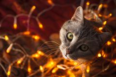 Cute cat with orange christmas lights on the background Royalty Free Stock Image