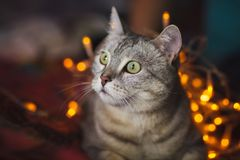 Cute cat with orange christmas lights on the background Stock Images