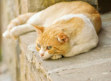 Cute cat Royalty Free Stock Photo
