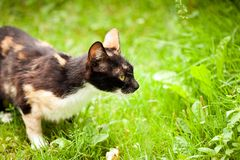 Cute cat outdoors. Cute cat outdoor in the grass, hunting Stock Image
