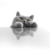 Cute cat peeking. On white background Stock Photography