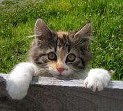 Cute cat peeping over fence. Young cat peeping over wall Stock Image