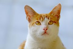 Cute cat, photographed from the front. Are looking  up with serious stare Royalty Free Stock Photos