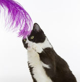 Cute cat playing with feather. A black and white Tuxedo cat takes a playful swat at a purple feather dangled in front of him Stock Photos