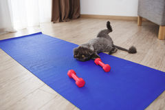 Cute cat playing with fitness dumbbells on floor Royalty Free Stock Image