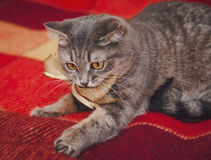 Cute cat is playing with golden knot.Checkered red plaid Stock Images