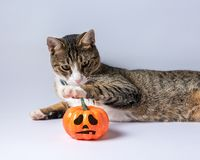 Cute cat playing with Halloween pumpkin on white background. Halloween concept.  royalty free stock photos