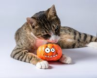Cute cat playing with Halloween pumpkin on white background. Halloween concept.  royalty free stock photography