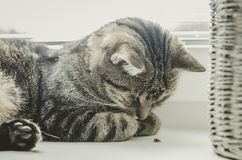 Cute cat playing with ladybug. Tabby cat lies on the window and sleeps. Cute cat playing with red ladybug. Tabby cat lies on the window and sleeps. Next to a Royalty Free Stock Photos
