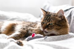 Cute cat playing with mouse toy on white bed in sunny stylish room. Maine coon with green eyes playing with with funny emotions on. Comfortable bed. Space for royalty free stock photos