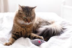Cute cat playing with mouse toy on white bed in sunny stylish room. Maine coon with green eyes playing with with funny emotions on. Comfortable bed. Space for royalty free stock images