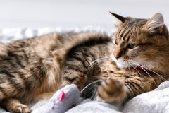 Cute cat playing with mouse toy on white bed in sunny stylish room. Maine coon with green eyes playing with with funny emotions on. Comfortable bed. Space for royalty free stock photography