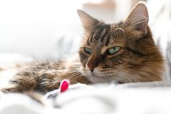 Cute cat playing with mouse toy on white bed in sunny stylish room. Maine coon with green eyes playing with with funny emotions on. Comfortable bed. Space for stock photos