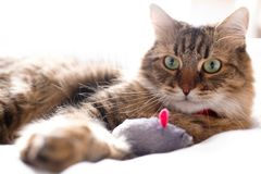 Cute cat playing with mouse toy on white bed in sunny stylish room. Maine coon with green eyes playing with with funny emotions on. Comfortable bed. Space for stock photo