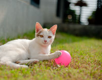 Cute cat playing pink ball in the green grass Stock Image