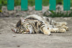 Cute  cat plays lying on the street in the summer Royalty Free Stock Photos