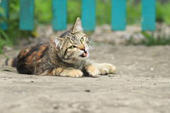 Cute  cat plays lying on the street in the summer Royalty Free Stock Images
