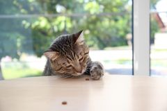 Cute cat reaching for treat on table royalty free stock photos
