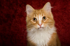 Cute Cat with Red Background. Head and shoulder photo of a cute orange tabby cat with red background Stock Photography