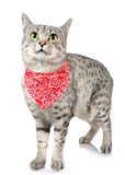 Cute cat with red bandana Royalty Free Stock Photography