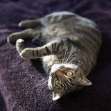 Cute cat relaxes and dreams on a bed Royalty Free Stock Photography