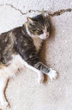 Cute cat relaxes and dreams Stock Photography