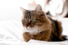 Cute cat relaxing on white bed in sunny bright stylish room. Maine coon with green eyes lying and looking with funny emotions on. Comfortable bed. Space for royalty free stock image