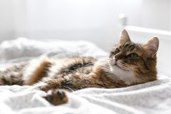 Cute cat relaxing on white bed in sunny bright stylish room. Maine coon with green eyes lying and looking with funny emotions on. Comfortable bed. Space for stock photography