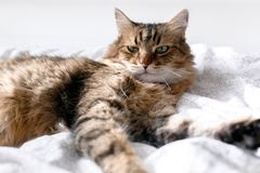 Cute cat relaxing on white bed in sunny bright stylish room. Maine coon with green eyes lying and looking with funny emotions on. Cute cat relaxing on white bed royalty free stock images